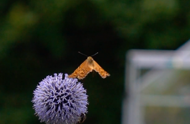 Mystery of butterfly flight lastly cracked by scientists