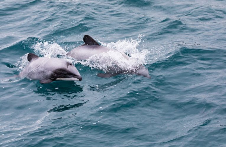 Jacinda Ardern launches project to save one of world's most endangered dolphin species