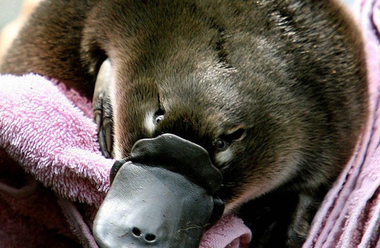 Australia to open world's first platypus sanctuary in fight to save species