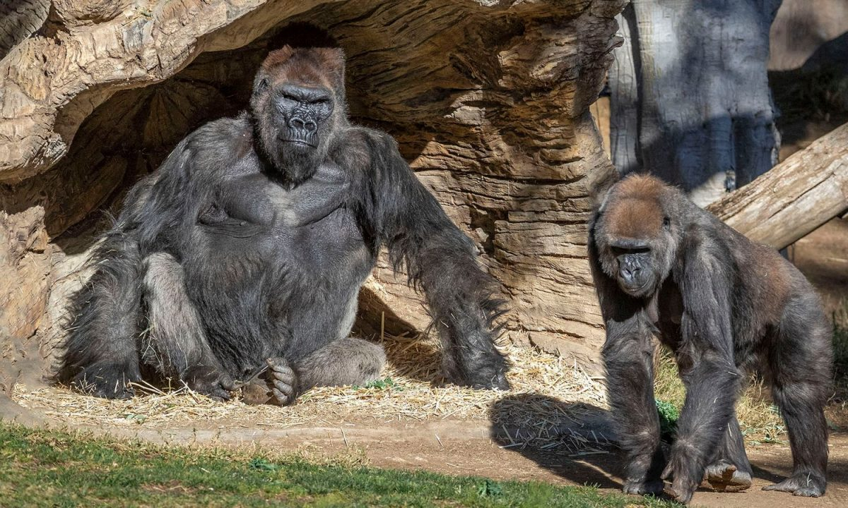 The great apes continue to be observed closely by vets. Credit: Christina Simmons/ San Diego Zoo Safari Park