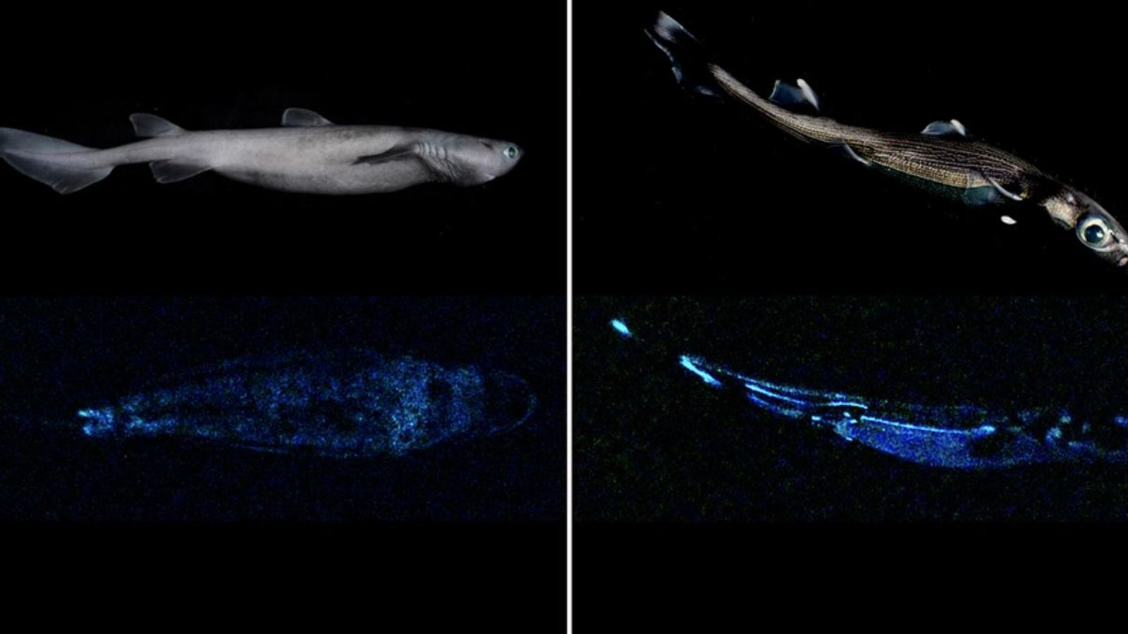 New research has confirmed three species of sharks found in New Zealand waters are bioluminescent, meaning they can produce their own light.