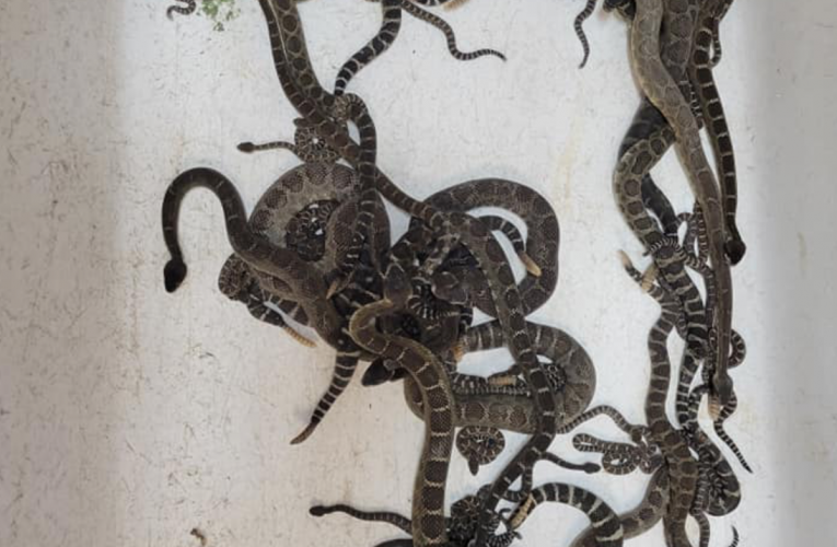 Terrifying haul of 90 snakes found under California home